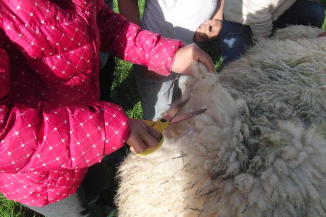 ファーム体験 羊毛刈り オークランド