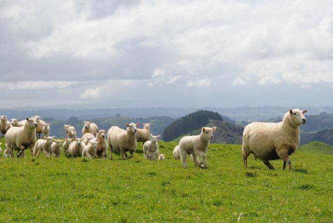 マトン ラム 羊 ニュージーランド