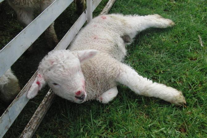 仔羊 しっぽ切り ファーム体験