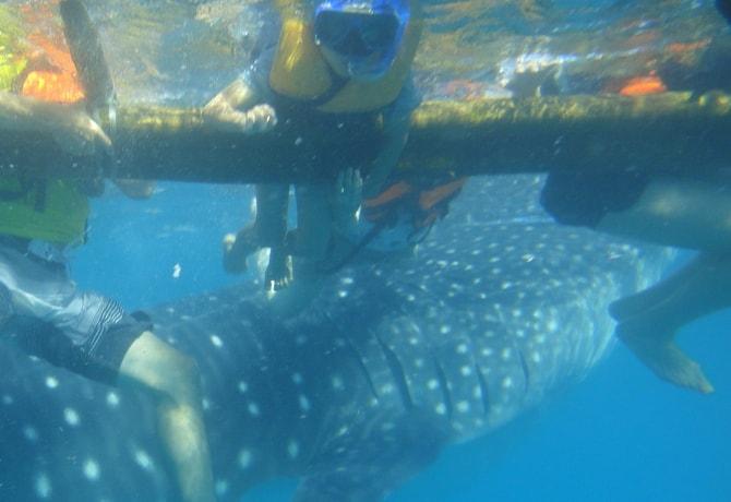 ジンベイザメ 泳ぐ セブ島