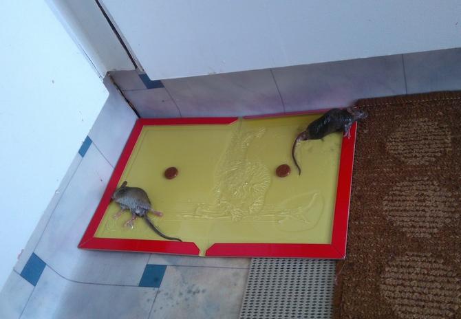 ニュージーランド ネズミ捕獲 オークランド
